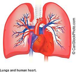 herz, anatomy., lungen, abbildung, infographic, menschliche