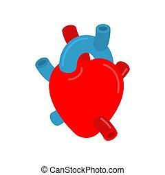 herz, aorta, atria., isolated., ventrikel, anatomisch, geäder