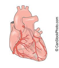 herz, ausstellung, arterien, koronar
