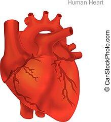 herz, balloon, illustration., menschliche , angioplasty