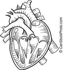 herz, bleistift, anatomisch, schwarz, menschliche , zeichnung
