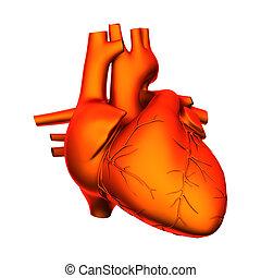 Herz - innere Organe - isoliert