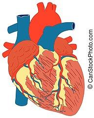 herz, koerperbau, diagramm, menschlicher muskel, struktur