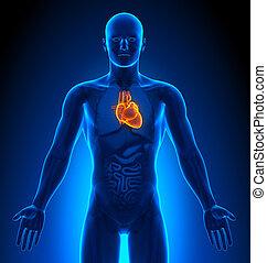 herz, medizin, -, imaging, mann, organe