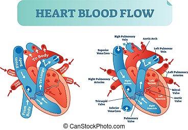 herz, poster., zirkulation, system., medizin, fließen, abbildung, anatomisches diagramm, etikettiert, vektor, blut, atrium, ventrikel