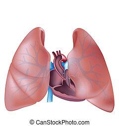 Herz- und Lungenbereich