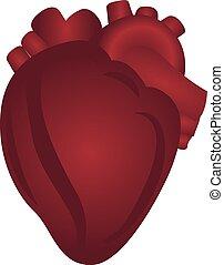 Herzanatomie bunte Zeichnung auf einem weißen Hintergrund.