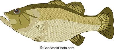 hintergrund., bild, vektor, weißer fisch