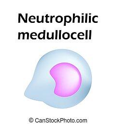 hintergrund, weißes, freigestellt, abbildung, structure., neutrophils., vektor, infographics., blut, neutrophils, cells., zelle, leukocytes., medullocell.