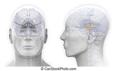 hippocampus, -, freigestellt, koerperbau, gehirn, weißer mann
