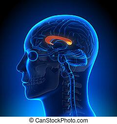 Hirnanatomie - Korpus Callosum