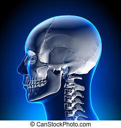Hirnanatomie - weißer Schädel