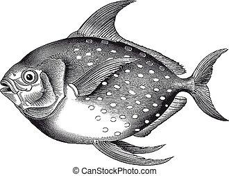 Hochauflösende Opah-Fischgravur.