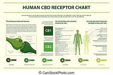 Human CBD Rezeptor Diagramm horizontal infographic.