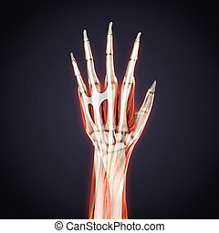 Human Hand Anatomie Illustration