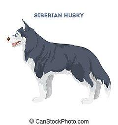 husky., freigestellt, sibirisch