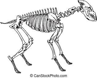hyäne, skelett