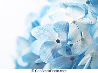 Hydrangea-Blumenba