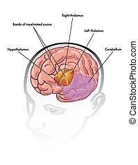 hypothalamus, thalamus