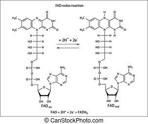 Illustration der FAD Redox Reaktion.