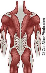 Illustration der Muskeln des Rückens