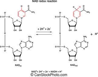 Illustration der NAD Redox Reaktion.