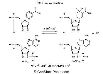 Illustration der NADP Redox Reaktion.
