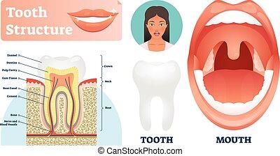 illustration., gesunde, medizin, zahn, etikettiert, vektor, struktur, z�hne, scheme.