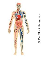Illustration menschliche Anatomie des Menschen auf weißem Hintergrund.