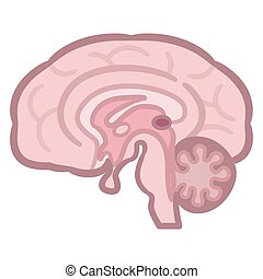 illustration., querschnitt, vektor, menschliche , brain.