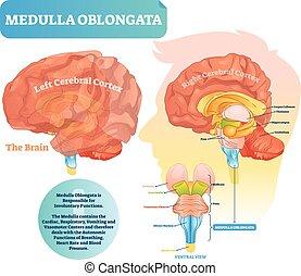 illustration., ventral, diagramm, etikettiert, vektor, oblongata, ansicht., medulla