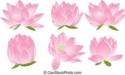 Illustration von Lotus (Wasserlös)