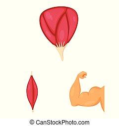 illustration., zellen, gegenstand, symbol., sammlung, freigestellt, koerperbau, vektor, muskel, bestand