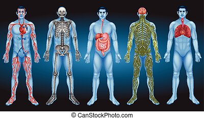 innere organe