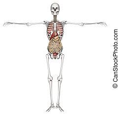 innere organe, skelett, 3d