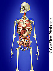 innere organe, skelett, mann