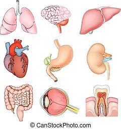 intern, abbildung, organe