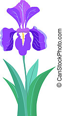 iris, blume, abbildung