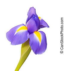 Iris-Blumenvektorenzeichnung, wunderschöne Natur