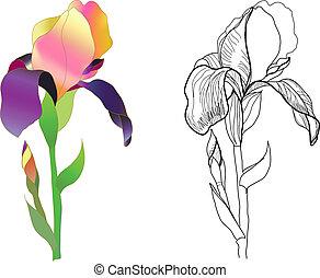Iris Monochrome und farbenfroh