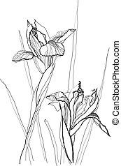 Iris zeichnen