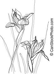 iris, zeichnung