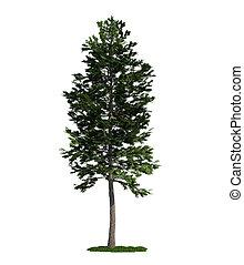 Isolierter Baum auf weißem, schottischem Pine (Pinus sylvestris)