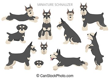 junger hund, erwachsener, miniatur, mantel, hunden, schnauzer, posen, scottie, set., verschieden, colors.