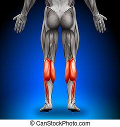 Kälber - Anatomiemuskeln
