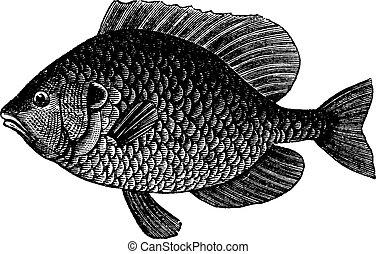 Kürbisse mit Seefisch oder Lepomis Kaubosus, Vintagegraving