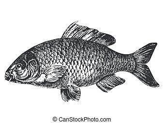 Karpfenfisch antiker Illustration
