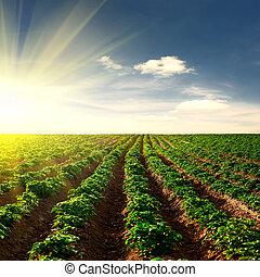 Kartoffelfeld bei Sonnenuntergang