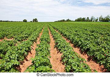 Kartoffelpflanzen.