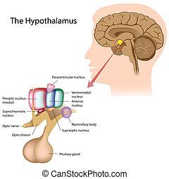 kerne, hypothalamus